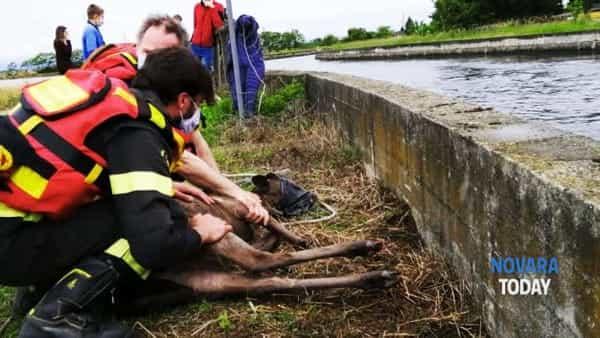 VIDEO | Due daini salvati dalle acque di un canale a Novara