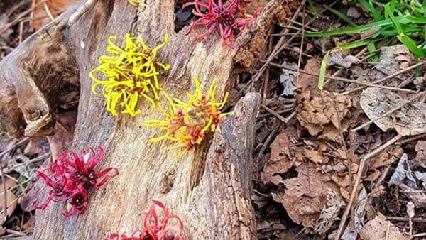 Una visita in un giardino privato alla scoperta delle hamamelis fiorite