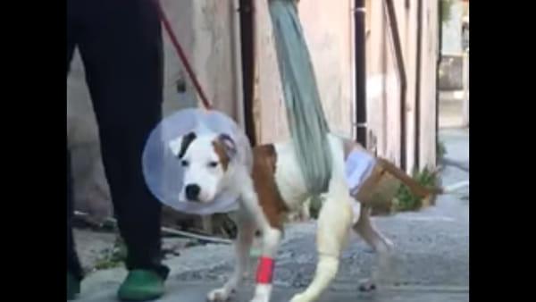 I primi passi di Tiburon, il cane lanciato dalle scale a Novara torna a camminare