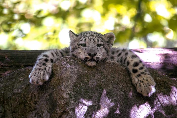 Leopardi delle nevi - Foto Claudia Rocchini – www.lafotografadeigatti (1)